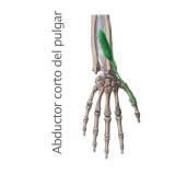 Músculo Separador o Abductor Corto del Pulgar