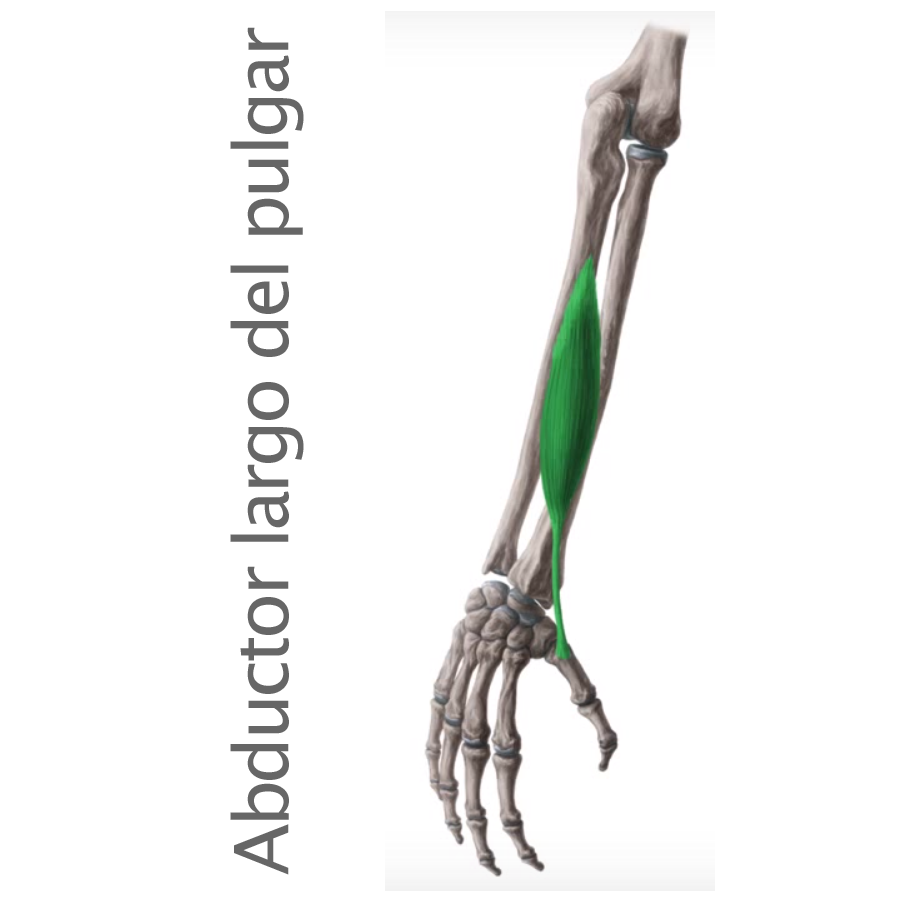 Músculo Abductor Largo del Pulgar