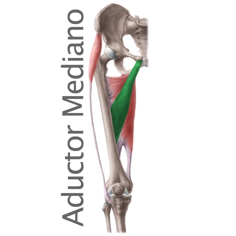 Músculo Aductor mediano