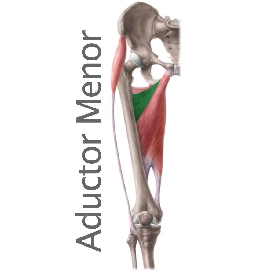 Músculo Aductor menor