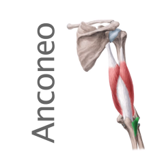 Músculo Anconeo
