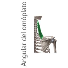 Músculo angular del omóplato