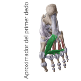 Músculo Aproximador del primer dedo