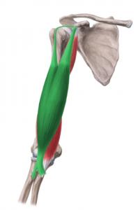 Vista 2 Bíceps braquial