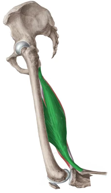 Vista lateral Bíceps femoral