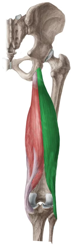 Vista Posterior Bíceps femoral