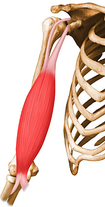 Musculo biceps braquial