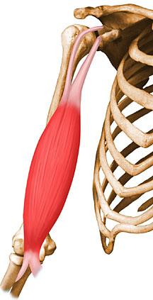 Vista 1 Bíceps braquial