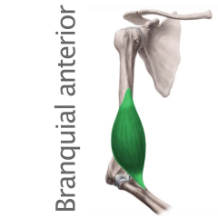 Músculo Braquial Anterior