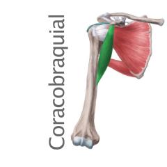 Músculo Coracobraquial