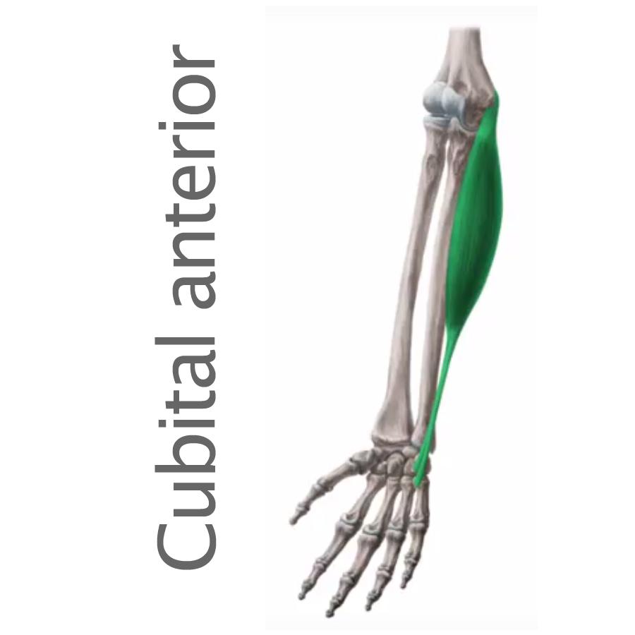 Codo archivos - Músculos.org: Guía anatómica de los músculos del cuerpo.