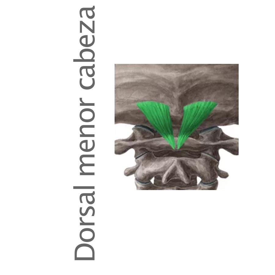 Músculo Dorsal menor de la cabeza