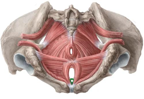 Vista 1 Esfínter externo de la uretra