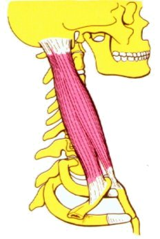 Vista 1 Esternocleidomastoideo