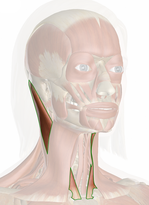 Vista 3 Esternocleidomastoideo