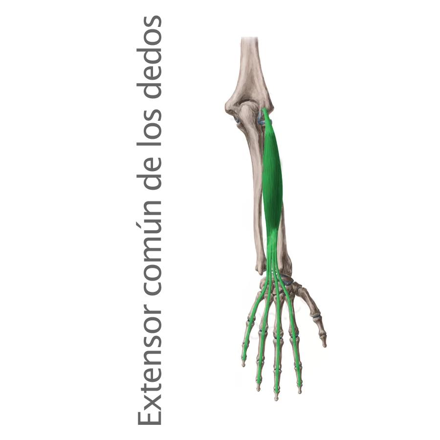 Musculo Extensor Común de los Dedos