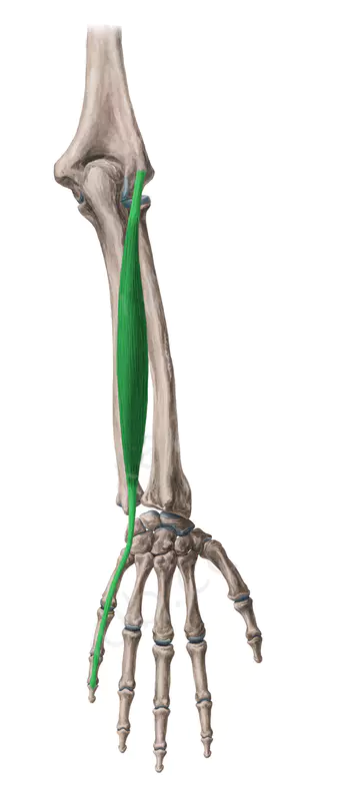 Vista 2 Musculo Extensor Propio Dedo Meñique