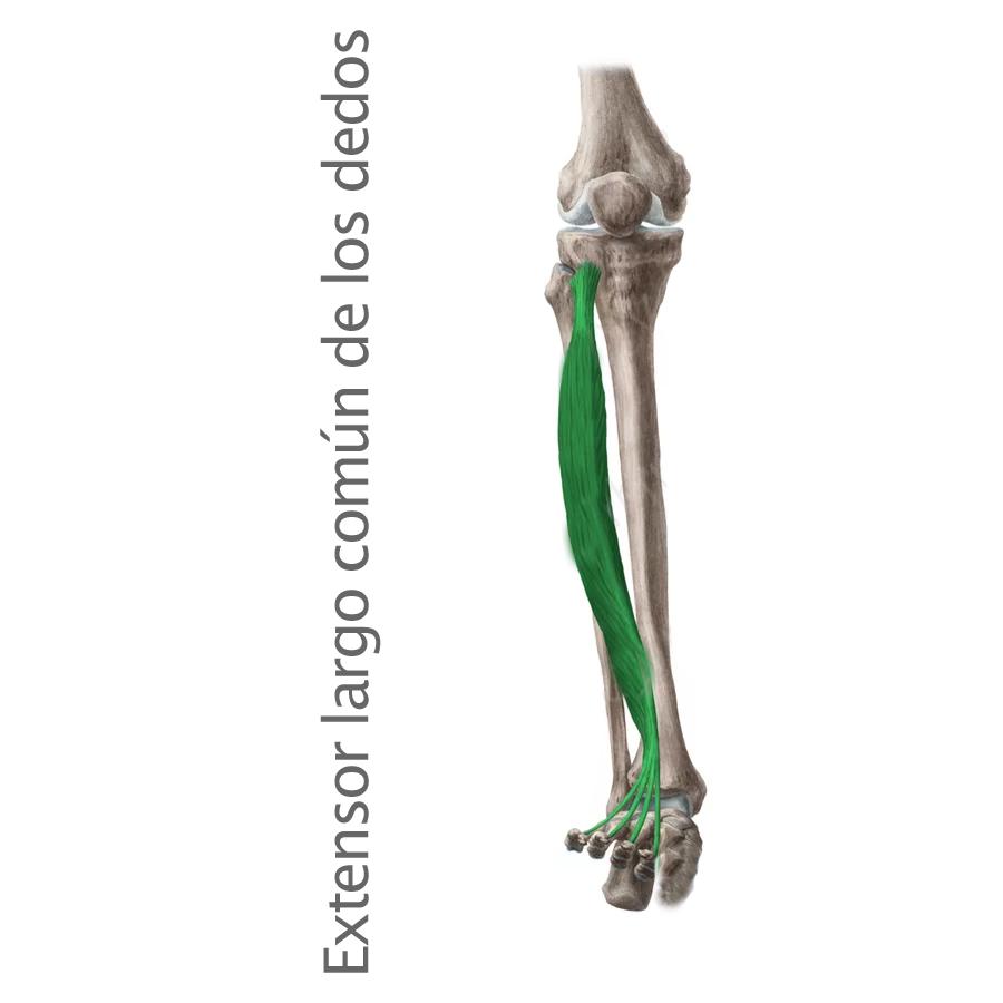 Músculos archivos - Músculos.org: Guía anatómica de los músculos del ...