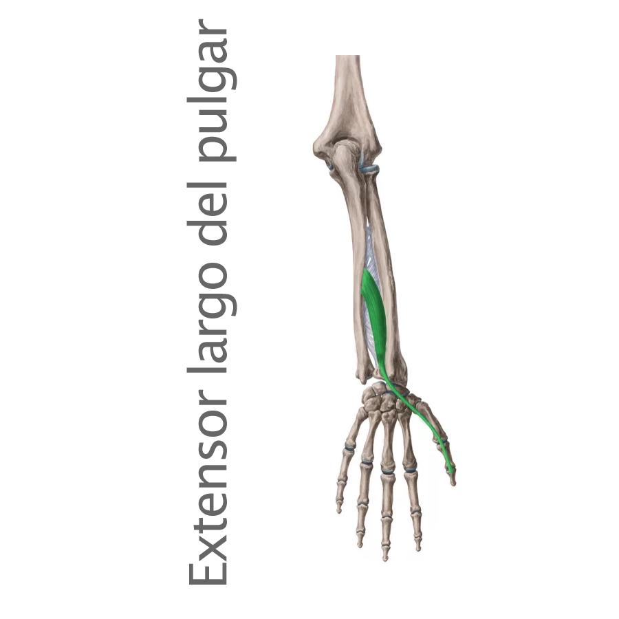 Músculo Extensor Largo del Pulgar