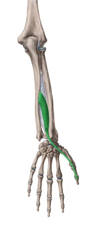 Vista 2 Extensor largo del pulgar
