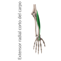 Músculo Extensor Radial Corto o Segundo Radial