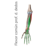 Músculo Flexor Largo Profundo Común de los dedos