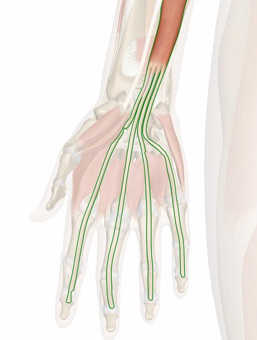 Vista 3 Flexor común profundo de los dedos