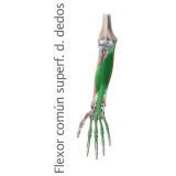 Musculo Flexor Largo Superficial Comun de los dedos