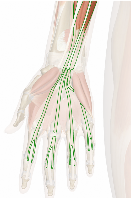 Vista 3 Flexor común superficial de los dedos