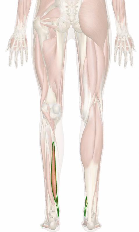 Vista 3 Flexor común de los dedos del pie