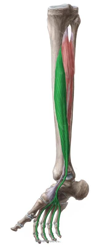 Vista 2 Flexor común de los dedos del pie