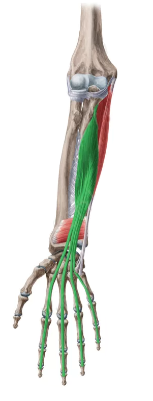 Vista 2 Flexor común profundo de los dedos