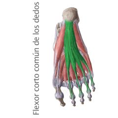 Músculos Flexor Corto Comun de los Dedos