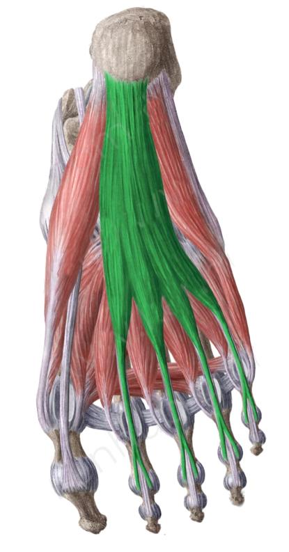Vista 2 Flexor común corto de los dedos