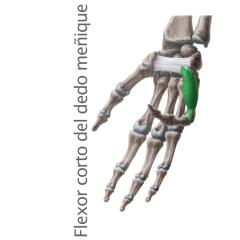 Músculo Flexor Corto del Meñique