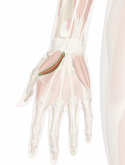 Vista 3 Flexor corto del pulgar