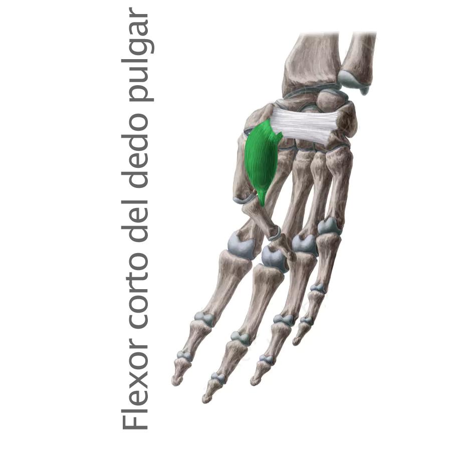 Músculo Flexor Corto del Pulgar