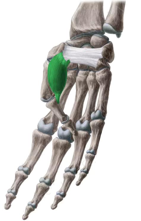 Muscle flexiona el pulgar