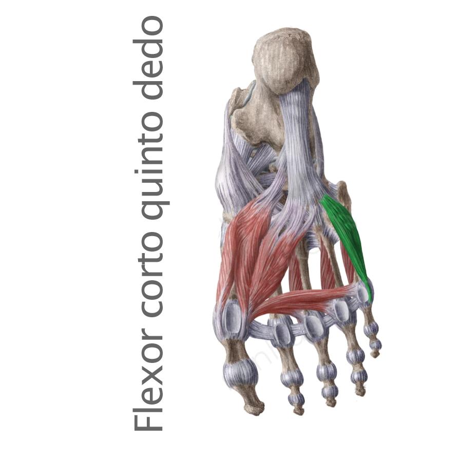 Músculo Flexor Corto del Quinto Dedo
