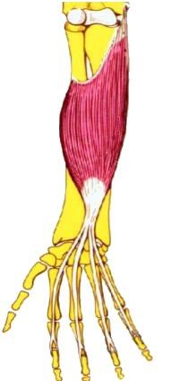 flexorcomunsuperdedos