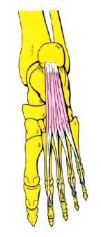 Vista 1 Flexor común corto de los dedos