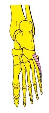 Vista 1 Flexor del quinto dedo