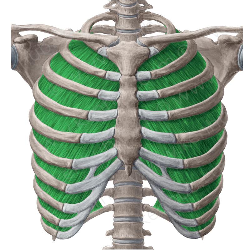Músculo: Intercostales internos