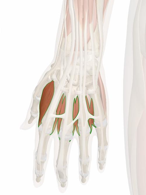 interoseos-dorsales-mano-2