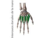 Músculos Interóseos Dorsales