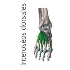 Músculo Interoseos Dorsales