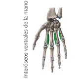 Músculos Interóseos Ventrales