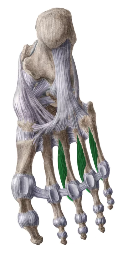 Vista 1 Interoseos ventrales del pie