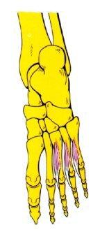 Vista 1 Interóseos ventrales del pie