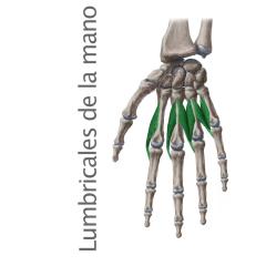 Músculos Lumbricales